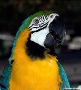 papagalli