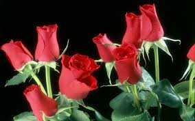 lulet rose