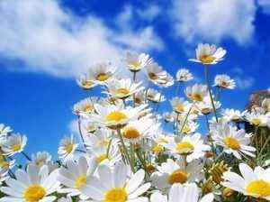lule kamomili
