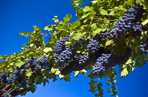 Rrushi i zi