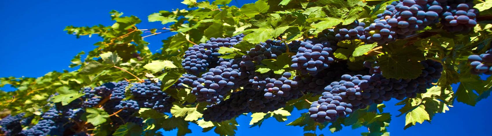 Rrushi i zi dhe efektet e shëndetshme të tijë   Mjeksia Islame