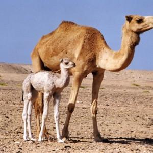 camel-best-cool-nice-desktop-hd-background-wallpapers