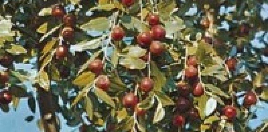 Frutat e llotosit