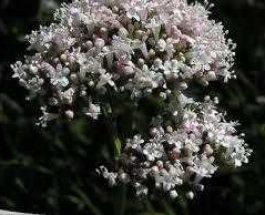 Bima e valerianës