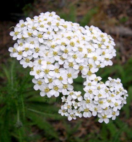 Achillea milefollium