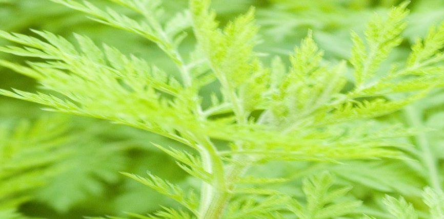 Artemisia Annua Bima që vret deri 100% të tumorit !