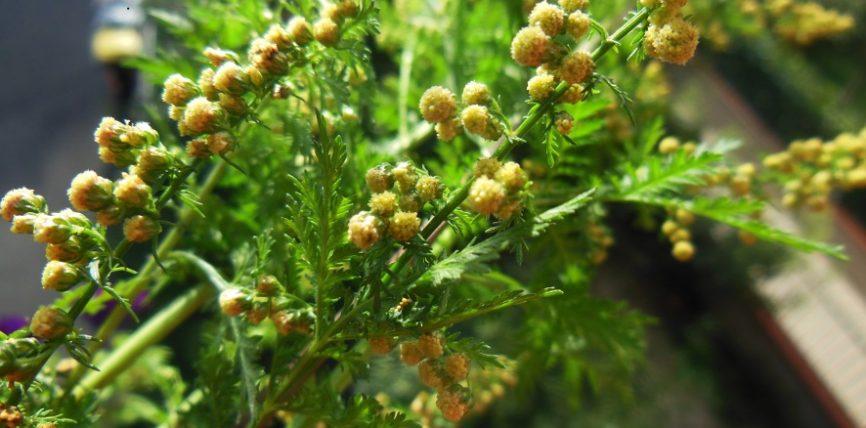 Artemisia: Bima që supozohet se vret deri 100% të tumorit në vetëm 16 orë!