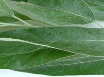 Gjethet e thara të ullirit dhe vetit shëruese