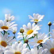 Kundër ftohjes me lule bliri