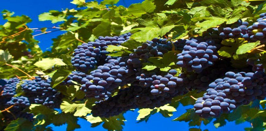 Rrushi i zi dhe efektet e shëndetshme të tijë