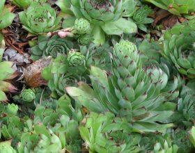 Ruajtëset e shtëpisë (Sempervivum tectorum) dhe mjati – recete natyrale kundër cistave