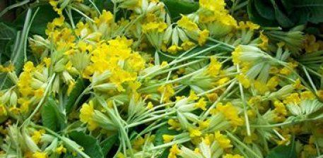 Primula veris-officinalis – L. (agulice,lulpranvere)