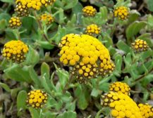 Lule AKJA (Helichrysum arenarium).