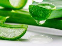 Aloe vera, bima e përfitimeve mjekësore