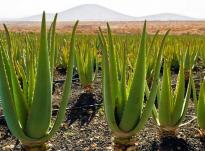 Kultivimi i Aloe Verës në Shqipëri – një biznes fitimprurës