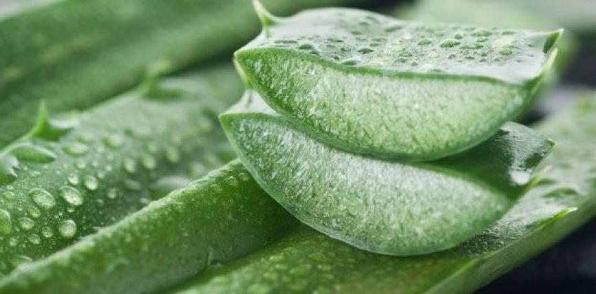 Xheli Aloe vera shkatërron qelizat e tumoreve, ndihmon në kimioterapi