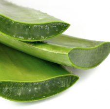 Nje bime Aloe Vera duhet ta kesh ne shtepi ! Eshte nje bime magjike ! Cfare e ben Aloe Veran aq unike ?