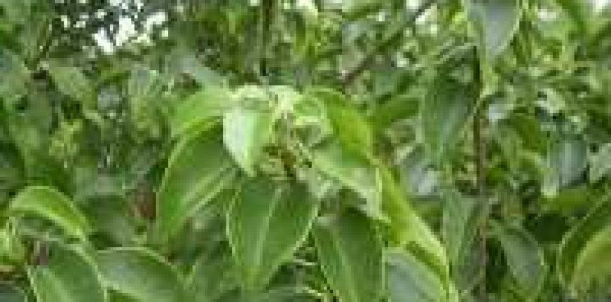 Druri alojes indiane (arab.ub hindi,ulva)