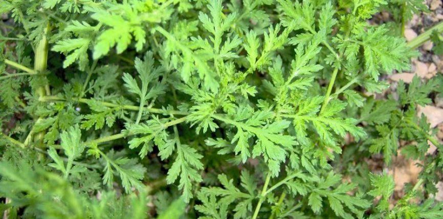 Kjo bimë vret 98 deri 100% të tumorit në vetëm 16 deri 24 orë!
