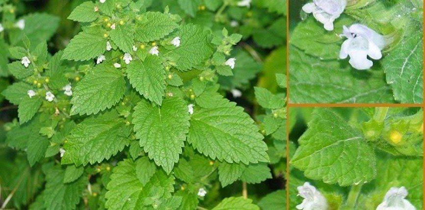 Kjo bimë ndihmon në parandalimin dhe lehtësimin e shumë sëmundjeve