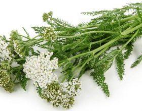 Achillea millefolium (bar pezmi)