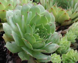 Sempervivum tectorum L. (BARVESHI)