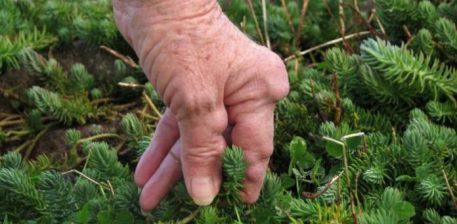 Luftoni artritin me bimë mjekësore natyrale