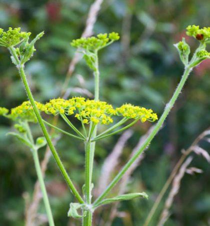 Rreziku nga bimët helmuese