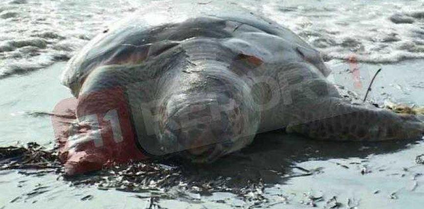 Breshkë gjigante në breg të detit të Shëngjinit