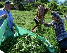 Çaji turk eksportohet në 85 vende të botës