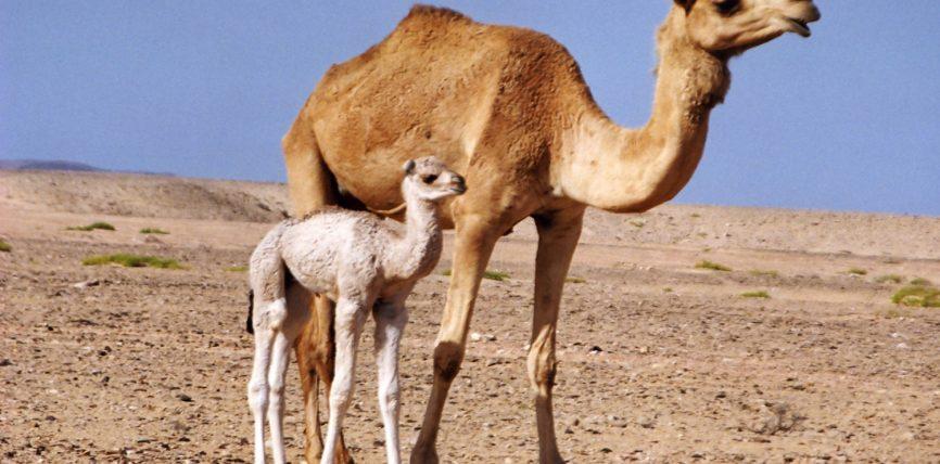 Urina dhe qumështi i devesë ilac