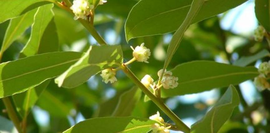 Gjethet e dafinës janë jashtëzakonisht të shëndetshme dhe posedojnë këto veti mjekësore