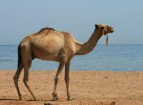 Rëndësia e të shëruarit me qumështin e devesë