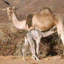 Qumeshti i devese dhe urina e tyre,ilaç ?
