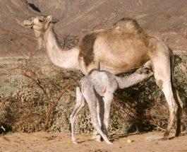 Menjëherë pas kësaj lutjeje, njeriu me sy të keq u verbua, ndërsa deveja u shërua !
