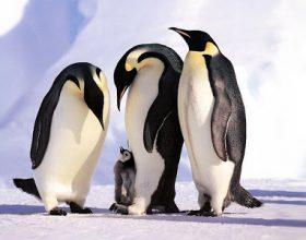 Mrekullia e Krijuesit – Agjërimi i Pinguinëve