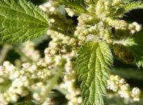 Mjalti dhe farat e hithrës ilaç për kollën