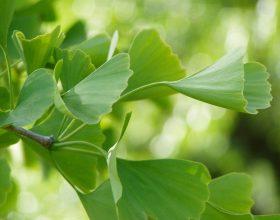Ginkgo Biloba, fam.Ginkgoaceae