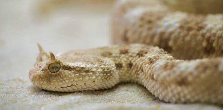 Vaj Gjarpri (Oil Snake) ka ndikim të veçantë dhe efektivitet në lëkurën e kokës rrënjët e flokëve dhe rritjeve te tyre