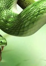 Përdorimi i rukusë kundër kafshimit të gjarprit