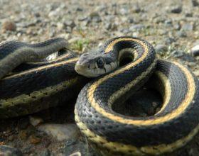 Mesyshi i kafsheve: disa lloj gjarperinjsh qe shkaktojne vdekjen me shikim