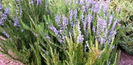 Gjethet e rozmarinës nxisin rritjen dhe shërimin e flokëve !