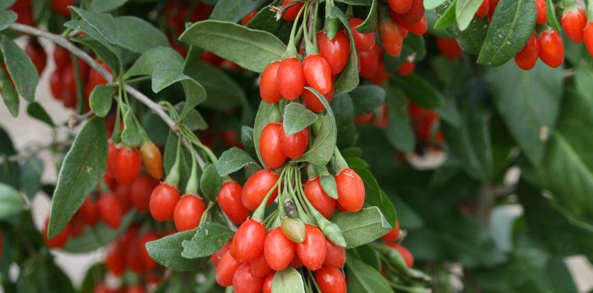 GOJIBERRY ( Wolfeberries )