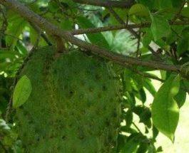 Annona muricata (graviola) Fruti qe lufton kancerin!