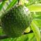 Ky është fruti që kuron kancerin, ja pse e fshehën farmacistët dhe mjekët