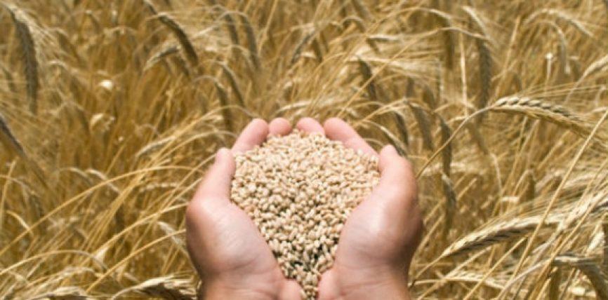 Lëngu nga bima e grurit ndihmon në luftë kundër kancerit