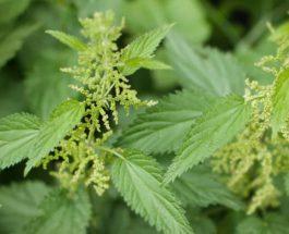 Kurat me hithër për të kuruar sëmundjet e mëlçisë, reumatizmit dhe artritit