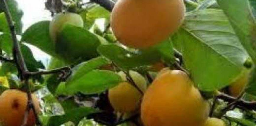 Shtatë veta helmohen nga hurmat në Burrel