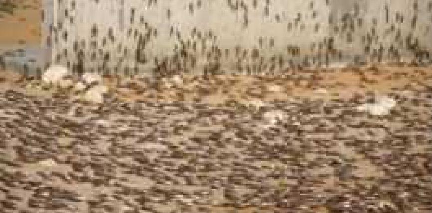 Izraeli pushtohet nga karkalecat