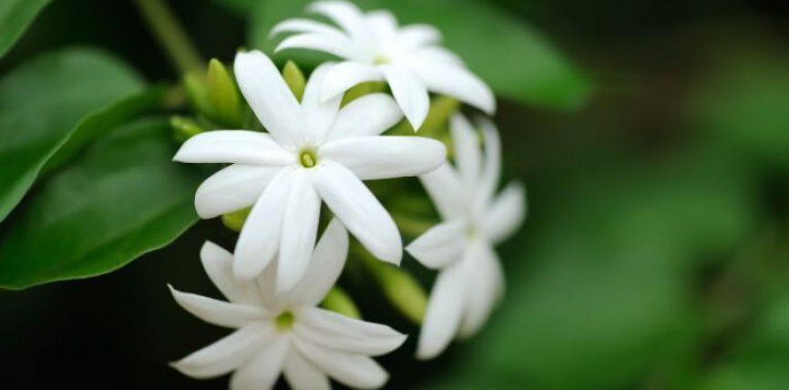 Jasemini (Jasminum spp) është një bimë shumë aromatike dhe përdoret për prodhimin e parfumeve